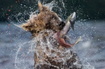 A brown bear emerges from the waters of Lake Kuril Kamchactka - Russia after having caught a large salmon.